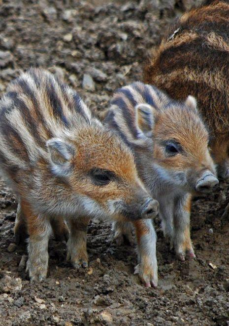 Kleine Wildschweine, sog. Frischlinge lassen sich gut am Streifenmuster erkennen