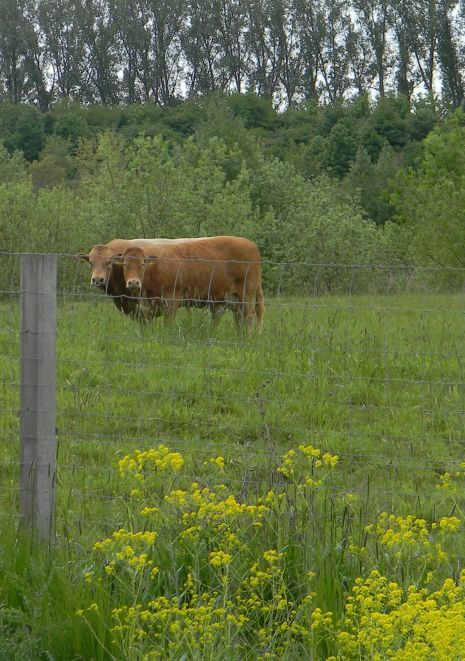 Glan-Donnersberger-Rinder und Blühstreifen