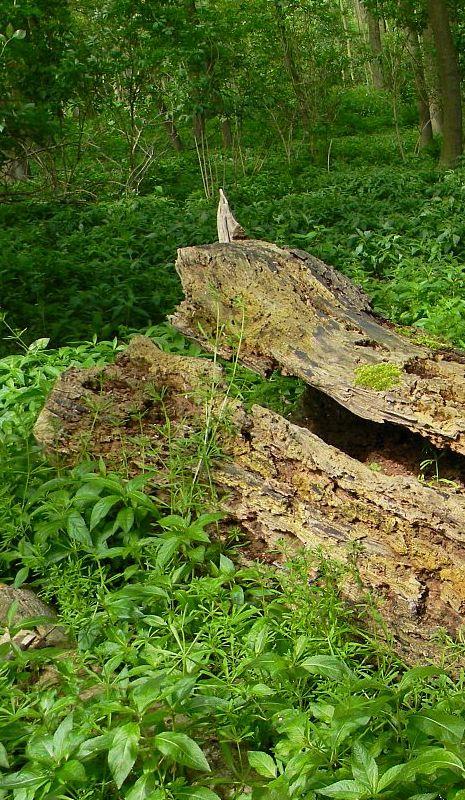 Liegendes Totholz wird von einer Vielzahl Käfer, Pilzen und Flechten bewohnt.