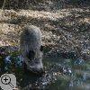 Das Foto zeigt ein Wildschwein, das in einer schlammigen Pfütze steht.