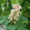 Blütenstand der Rosskastanie