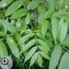 Paarig gefiederte Blätter der Gemeinen Esche (Fraxinus excelsior)