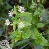 Die Hainsternmiere (Stellaria némorum)