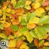 Herbstlaub einer Buche (Fagus sylvatica)