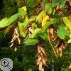 Blätter und Samen einer Hainbuche (Carpinus betulus)