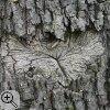 Abgetragene Rinde einer Eiche (Quercus spec.) in Herzform