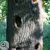 Spechthöhlen in einer Eiche (Quercus robur)