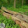 Liegendes Totholz wird von Käfern, Moosen, Pilzen und Flechten bewohnt