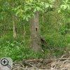 Spechtspuren an stehendem Totholz