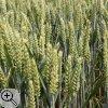 Moderner Weizen - das Ergebnis jahrtausenderlanger Züchtung.