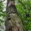 Stehendes Totholz- Nahrungsquelle und Lebensraum für viele Insekten und Vögel