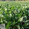 Die Zückerrübe wird in der Zülpicher Börde häufig angebaut